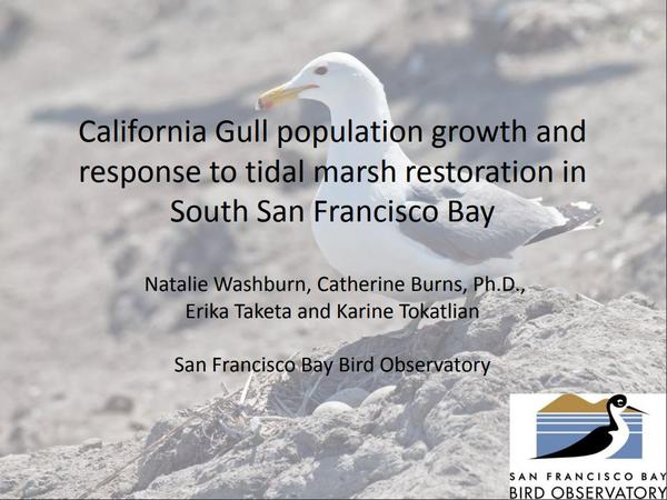 California Gull population growth and response to tidal marsh restoration in South San Francisco Bay - Slide 1
