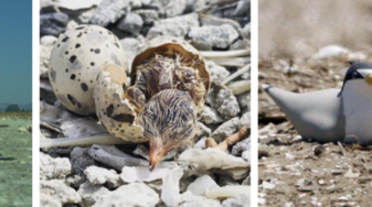 California least terns and their eggs and nests